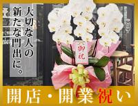 開店・開業祝いの胡蝶蘭